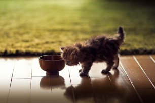 kitten-chicking-the-bowl