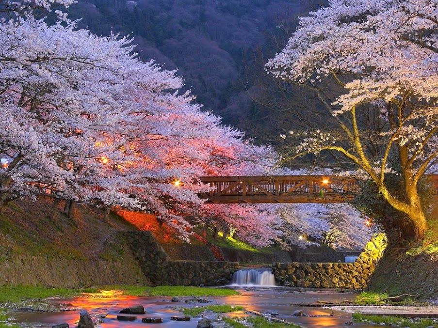 cherry-trees-near-tokyo