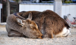 sleeping-deer-on-Miyajima-Island