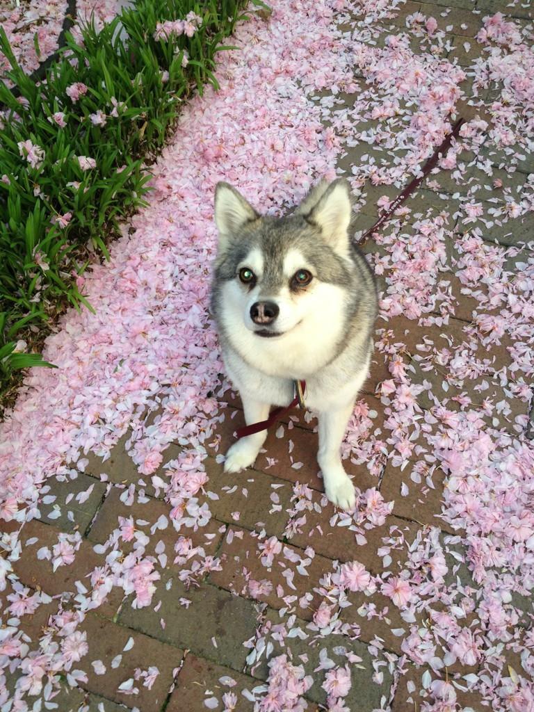 Sakura-Dodge