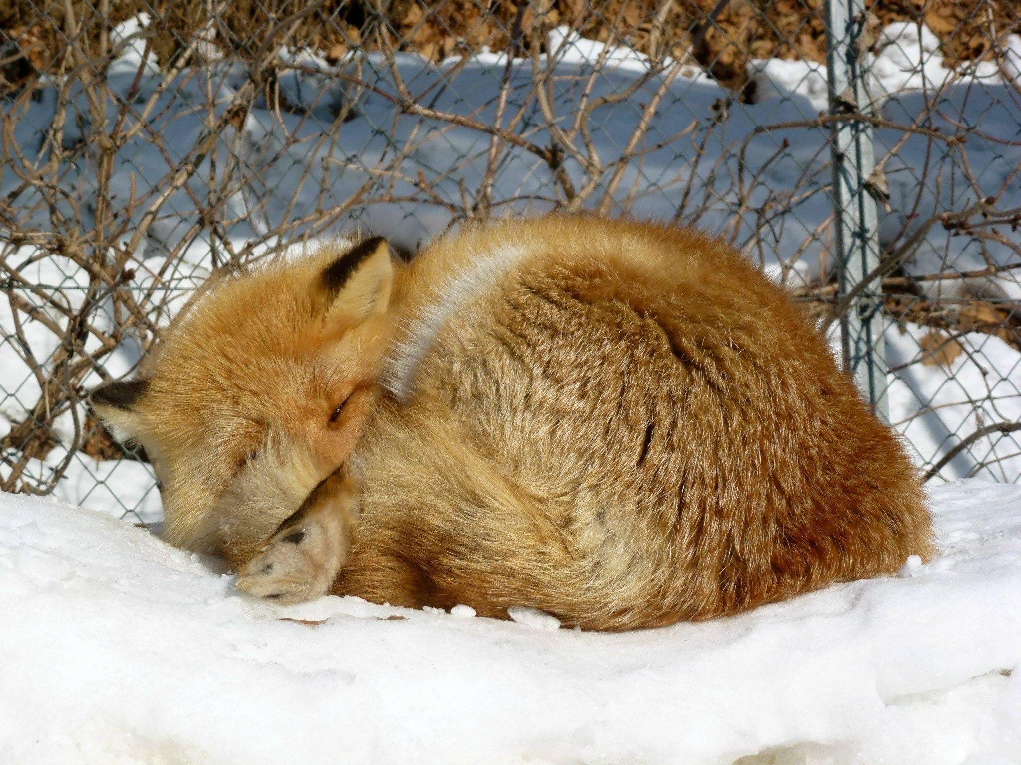 Hokkaido-Fox-Snoozin