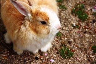 Rabbit-Island-Okunoshima-Hiroshima