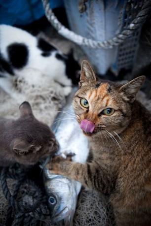 Likin-Cats