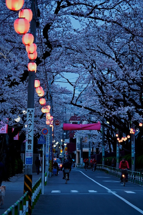Sakura Night