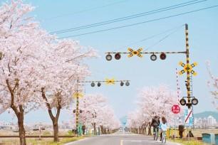 Sakura in the Street