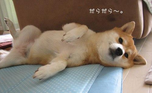 Sleepy Shiba Inu