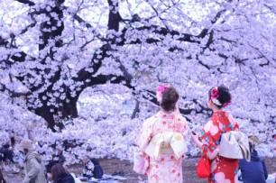 Enjoying Sakura