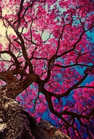 Sakura over Blue