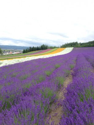 Japanese Lavanda Fields
