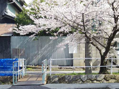 Street with White Sakura