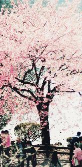 Lovely Sakura Tree