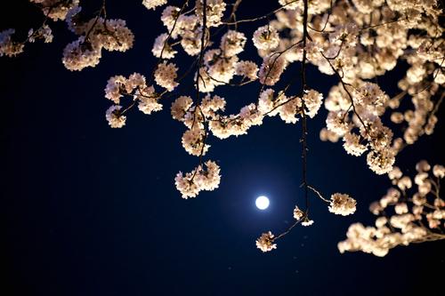 Sakura Night