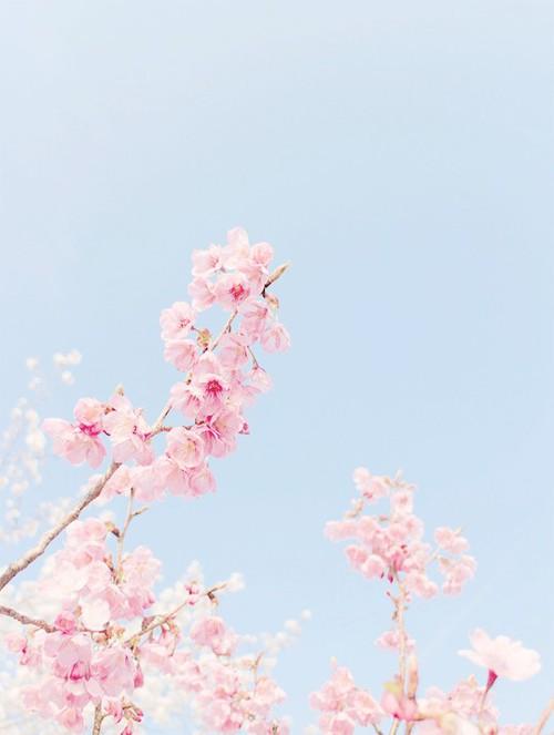 Sakura Yay