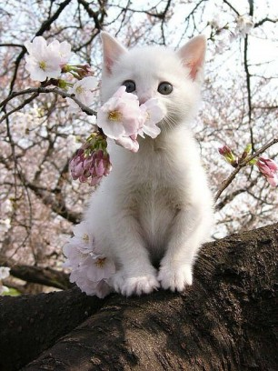 Sakura Kitten