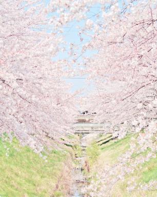 Sakura Overload