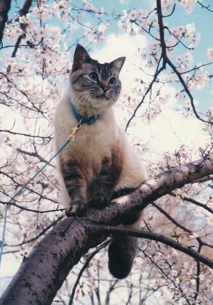 Cat in Sakura Tree
