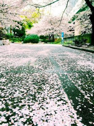All of the Sakura