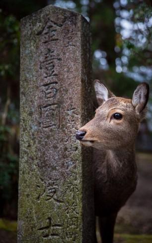 Japanese Deer