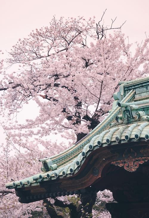Whiteish Sakura Tree