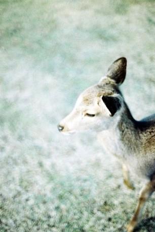 Beautiful-Deer