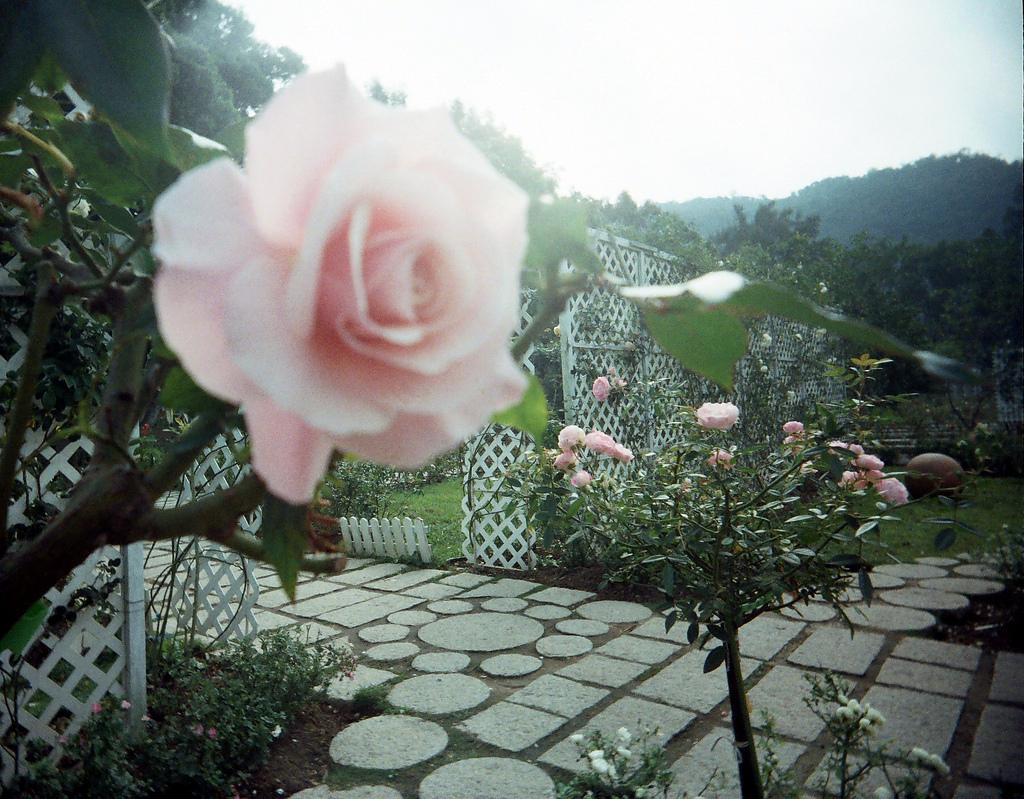 Pretty-Roses