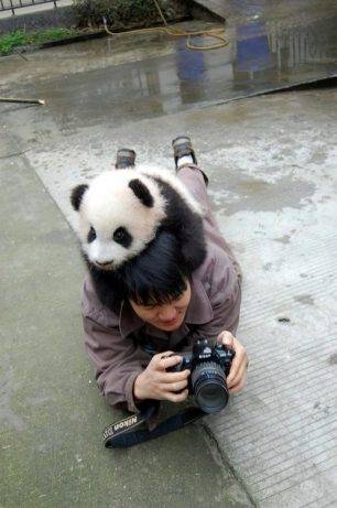 Panda Attacks